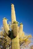 Magnificent Saguaro Cactus Stock Images