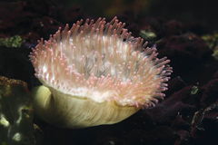 Magnificent sea anemone Stock Image
