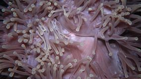 The magnificent sea anemone, also known as the Ritteri anemone. Heteractis magnifica The magnificent sea anemone, also known as the Ritteri anemone stock footage