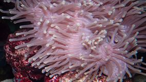 Heteractis magnifica The magnificent sea anemone, also known as the Ritteri anemone. The magnificent sea anemone, also known as the Ritteri anemone stock video