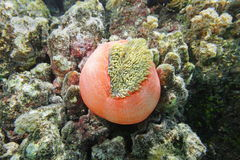 Magnificent sea anemone Heteractis magnifica royalty free stock images