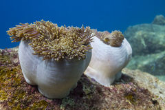 Magnificent sea anemone (Heteractis magnifica) Stock Photography