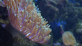 Magnificent sea anemone or Ritteri anemone Heteractis magnifica. Magnificent sea anemone or Ritteri anemone Heteractis magnifica in the sea or aquarium. Slow stock footage