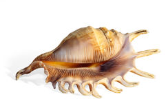 Magnificent shell isolated Stock Photography