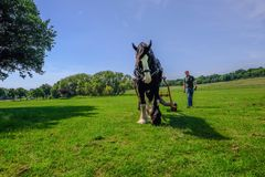 Magnificent shire horse on grassland pulling a large log and being encouraged by his trainer. royalty free stock image