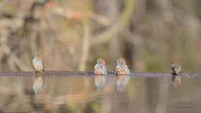 Magnificent steady low angle blurred close up view on small little birds drinking water from mirror surface water puddle stock footage