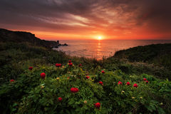 Magnificent sunrise view with beautiful wild peonies on the beach near Tylenovo, Bulgaria Stock Photos