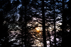 Magnificent Sunset Through Pine Trees Royalty Free Stock Photography