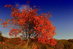 Magnificent tree red Royalty Free Stock Photo