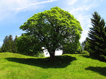 Magnificent tree Stock Photography
