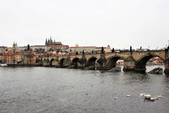 Prague, Czech Republic, January 2015. Swans on the water in front of the famous Charles Bridge. royalty free stock photos