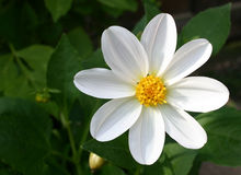 Magnificent white dahlia. In the sunshine Stock Photos