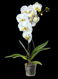 Magnificent, white orchid. Isolated on a black background. Royalty Free Stock Photography