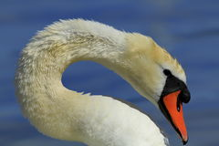 Magnificent white swan Royalty Free Stock Images