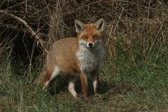 A magnificent wild Red Fox Vulpes vulpes hunting for food at the edge of shrubland. A magnificent Red Fox Vulpes vulpes hunting for food at the edge of stock images