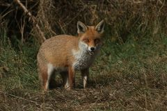 A magnificent wild Red Fox Vulpes vulpes hunting for food at the edge of shrubland. A magnificent Red Fox Vulpes vulpes hunting for food at the edge of royalty free stock images