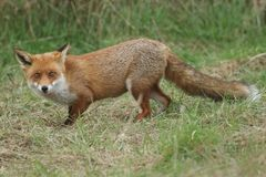 A magnificent wild Red Fox Vulpes vulpes hunting for food at the edge of shrubland. A magnificent Red Fox Vulpes vulpes hunting for food at the edge of stock photo