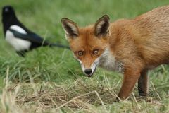 A magnificent wild Red Fox Vulpes vulpes hunting for food to eat in the long grass. royalty free stock images
