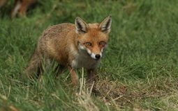 A magnificent wild Red Fox Vulpes vulpes hunting for food to eat in the long grass. royalty free stock image