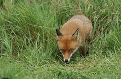 A magnificent wild Red Fox Vulpes vulpes hunting for food to eat in the long grass. stock photos