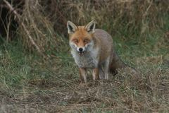 A magnificent wild Red Fox Vulpes vulpes hunting for food at the edge of shrubland. A magnificent Red Fox Vulpes vulpes hunting for food at the edge of royalty free stock photos