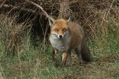 A magnificent wild Red Fox Vulpes vulpes hunting for food at the edge of shrubland. A magnificent Red Fox Vulpes vulpes hunting for food at the edge of royalty free stock photography