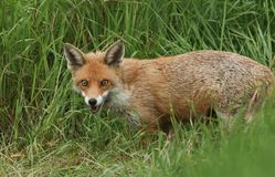 A magnificent wild Red Fox, Vulpes vulpes, hunting for food to eat in the long grass. stock photo