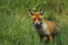 A magnificent wild Red Fox, Vulpes vulpes, hunting for food to eat in the long grass. royalty free stock photo
