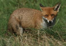 A magnificent wild Red Fox Vulpes vulpes hunting for food to eat in the long grass. A magnificent Red Fox Vulpes vulpes hunting for food to eat in the long royalty free stock photos