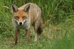 A magnificent wild Red Fox, Vulpes vulpes, hunting for food to eat in the long grass. royalty free stock photography
