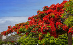 Magnificient flamboyant  tree. The flamboyant donates shade from the heat Stock Photos