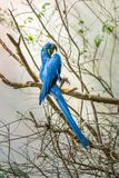Magnificient Hyacinth Macaw Stock Foto
