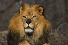 Magnificient lejon Arkivbilder