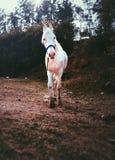 Magnificient-Pferd von Indien lizenzfreie stockbilder