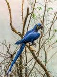 Magnificienten Hyacinth Macaw fotografering för bildbyråer