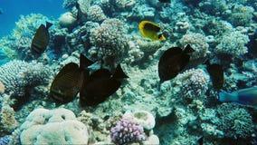 Magnifico tuffandosi il Mar Rosso Nuotata vicino al pesce della farfalla ad una profondità bassa stock footage