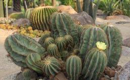 Magnificus di Notocactus Immagine Stock