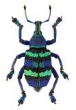 Magnificus Eupholus, ένας μπλε εξωτικός ρυγχωτός κάνθαρος Στοκ Φωτογραφία
