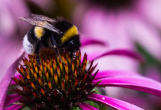 Magnified bumblebee on a pink flower Royalty Free Stock Photo