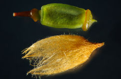 Magnified capsule and calyptra of a hair cap moss from Connecticut. A single young capsule of the hair cap moss, Polytrichum commune, with the hairy calyptra on Royalty Free Stock Images