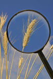 Magnifier and spikelets of grain. Grain ears under a magnifying glass and blue sky on the background Stock Photo
