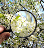 Magnifying glass. White flowers under magnifying glass in human hand Stock Image