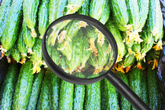 Magnifying glass and cucumber. Use magnifying glass view of cucumber.Metaphor of food safety Royalty Free Stock Photography