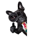 Magnifying glass dog. French bulldog  dog searching and finding as a spy with magnifying glass , isolated on white background, behind banner placard blackboard Stock Image
