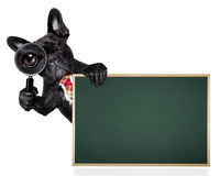Magnifying glass dog. French bulldog  dog searching and finding as a spy with magnifying glass , isolated on white background, behind banner placard blackboard Royalty Free Stock Photography