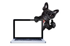 Magnifying glass dog. French bulldog  dog searching and finding as a spy with magnifying glass , isolated on white background, behind pc computer laptop screen Royalty Free Stock Photography