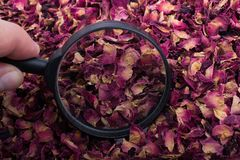 Magnifying glass over  dried  rose petals Stock Photos