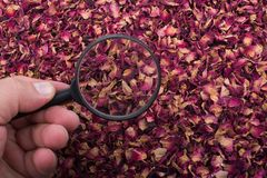 Magnifying glass over  dried  rose petals Royalty Free Stock Photography