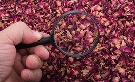 Magnifying glass over  dried  rose petals Royalty Free Stock Images