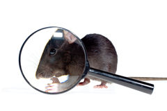 Magnifying glass and rat Royalty Free Stock Photo